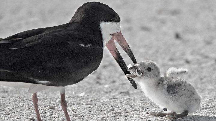 Çevre kirliliğinin simgesi: Yavrusunu izmaritle beslemeye çalışan anne kuş