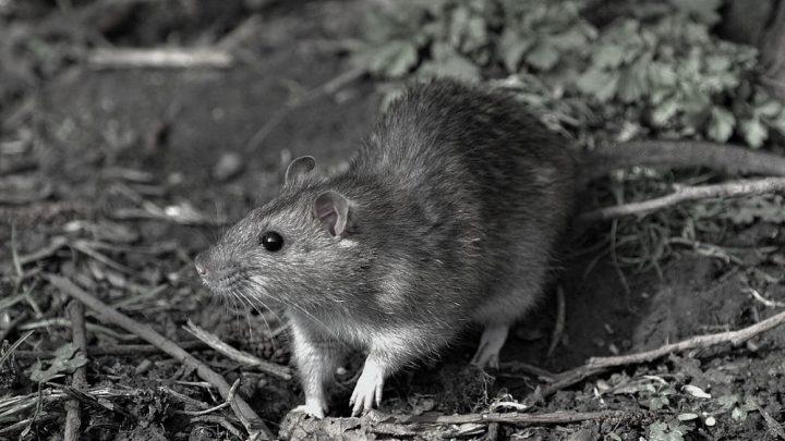 İklim değişikliği nedeniyle yok olan ilk memeli türü Mozaik kuyruklu sıçan oldu