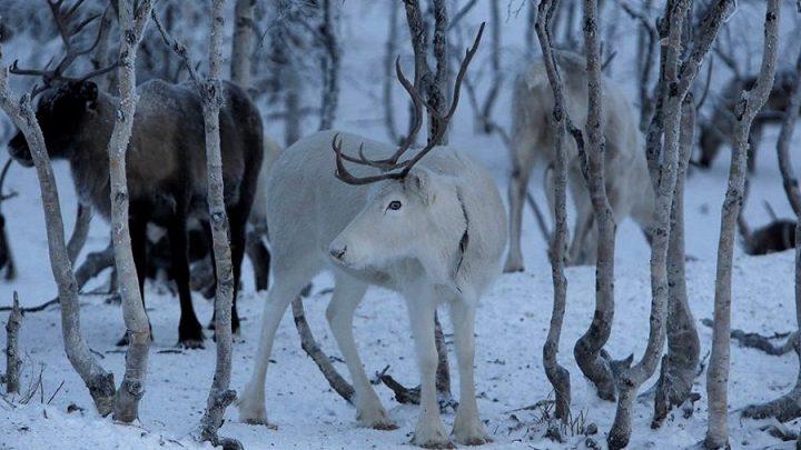 Küresel ısınma yüzünden 'Noel Baba'nın ren geyikleri küçülüyor