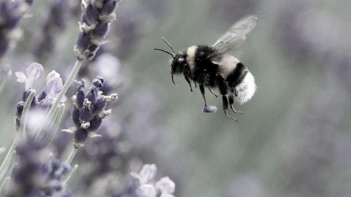 Küresel Isınma Yaban Arılarını Tehdit Ediyor