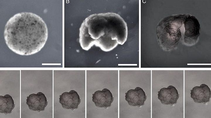 Bilim insanları kurbağaların kök hücrelerinden 'canlı robotlar' üretti