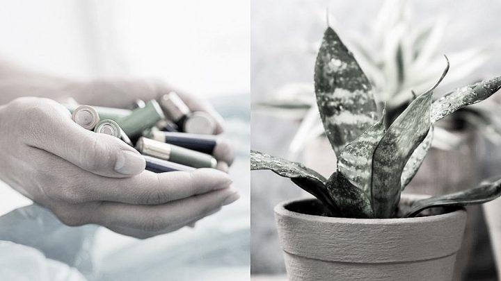 Biten pilleri çöpe atmayın! Atık piller, gübreye dönüştürülüp bitkilerinize güç verebilir