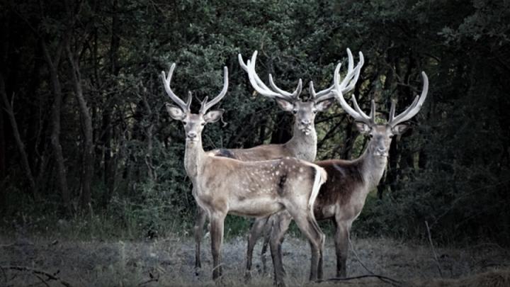 Eskişehir'de 18 kızıl geyik avlanması ihalesine mahkeme 'dur' dedi