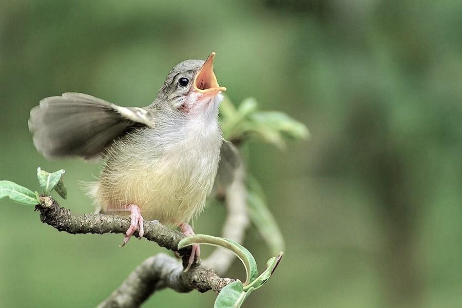 Koronavirüs karantinası, kuşların ötüşlerini değiştirdi