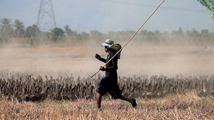 Tayland'ın tarlalarını temizlemek için 10 bin ördek göreve çağrıldı