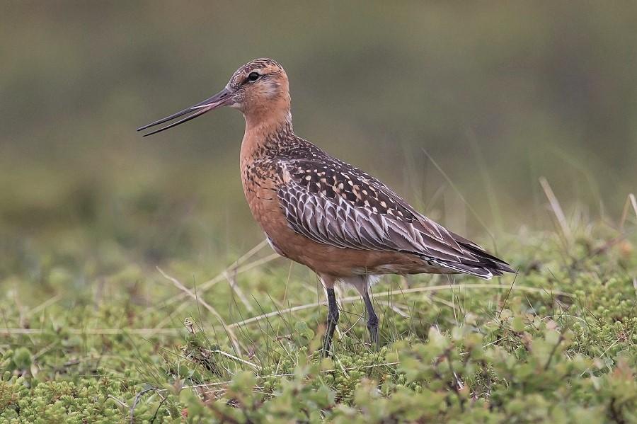 İç organlarını küçültebilen kuş 12 bin kilometre aralıksız uçarak rekor kırdı
